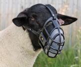Lamb masked